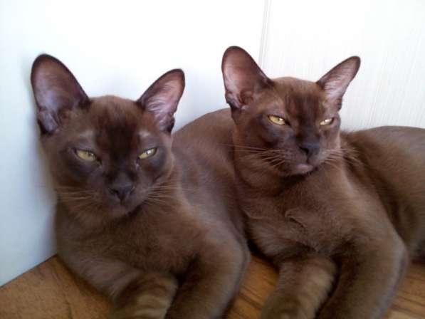 Бурманские соболиные котята