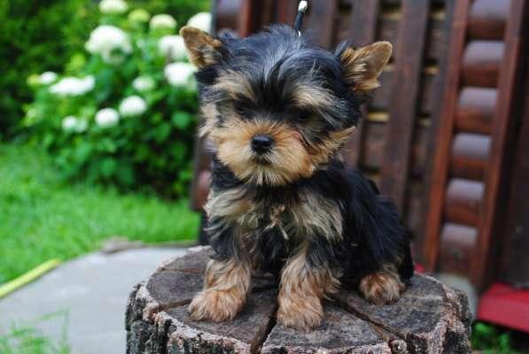 Продаются щенки йоркширского терьера в Москве фото 5
