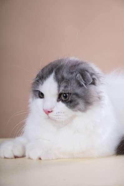 вислоухий котик