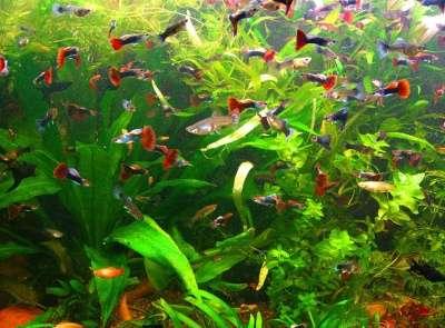 Гуппи - красивые мирные рыбки