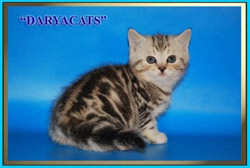 Британские котята мраморного окраса из питомника Daryacats