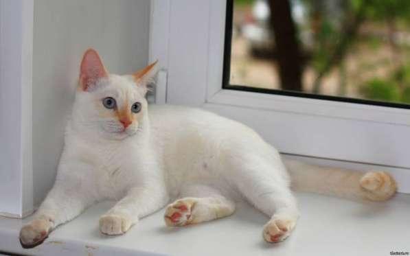 Тайский котенок редкого окраса РЕД-ПОИНТ