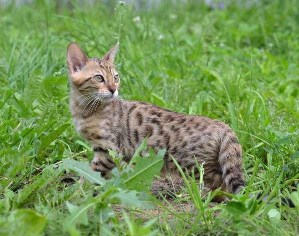 Бенгальсике котята в Нижнем Новгороде фото 10