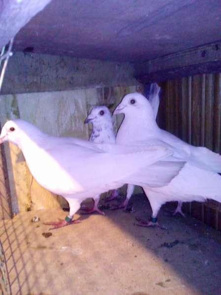 Голуби. Узбеки, птица гонная с игрой, есть почтари в Воронеже фото 5