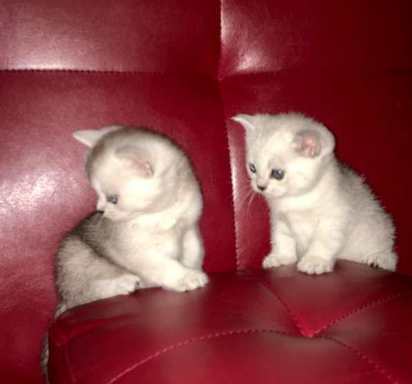 Шотландские котята серебристые шиншиллы в Екатеринбурге фото 5
