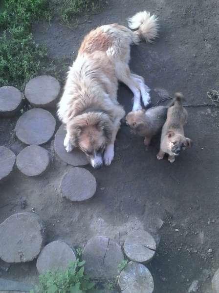 Продам щенков кавказской овчарки (неплановая вязка)