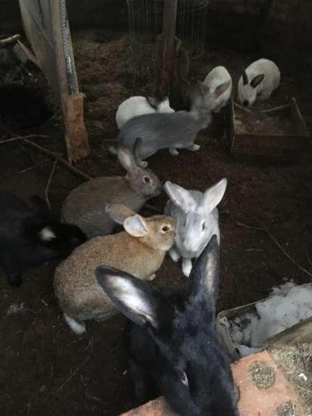 Кролики на мясо на племя в Москве фото 3