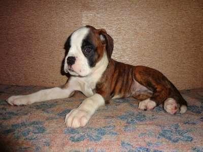 Боксер немецкий, щенки с родословной