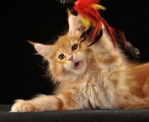 Котята мейн-кун из питомника AmbientCat, Севастополь