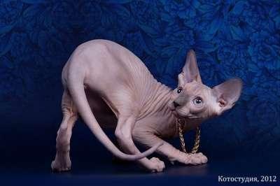 Котёнок сфинкс - маленький талисман.