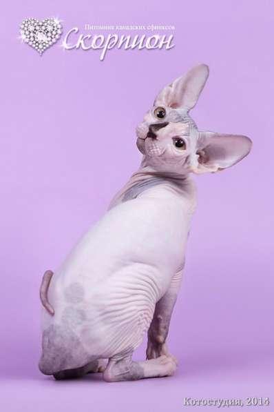 Роскошные из питомника котята сфинкс.
