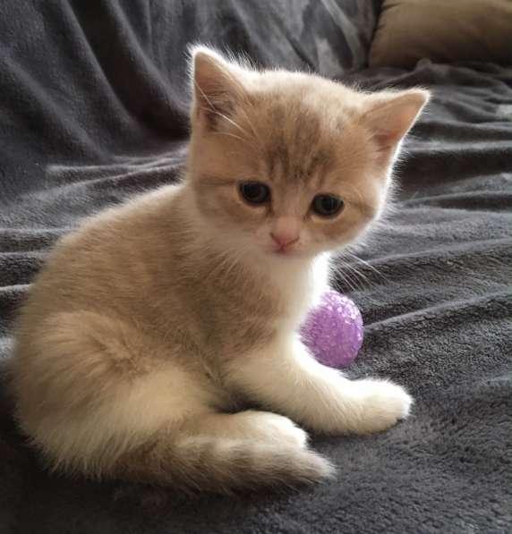 Шотландские котята в Иванове фото 3