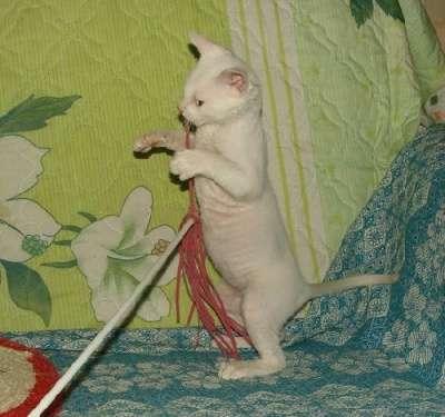 не аллергенные кошки уральский рекс