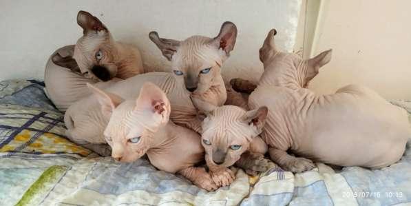 Продаются котята канадские сфинксы и эльфы в фото 3