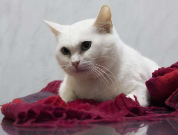 Прекрасная кошка по имени Сага в добрые руки! в Москве