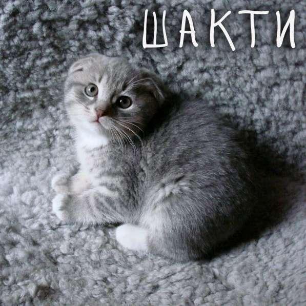 Продаётся котёнок породы скоттиш-фолд (вислоухий)
