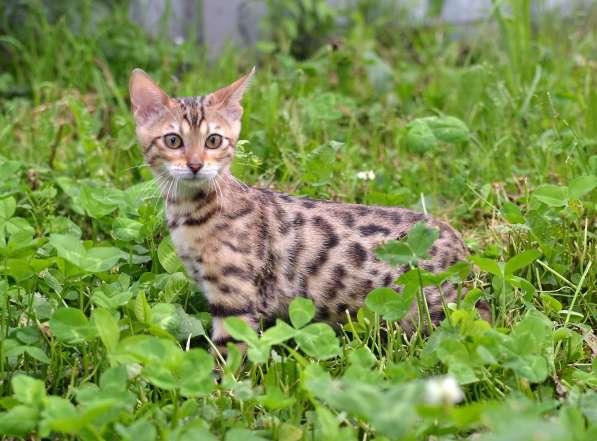 Бенгальсике котята