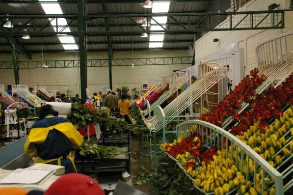 Розы от плантаций Эквадора в Москве фото 3