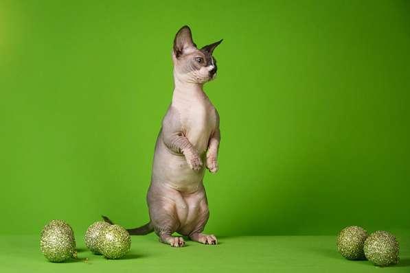 Бархатный котёнок с душой Эльф, Двэльф, бамбино или сфинкс