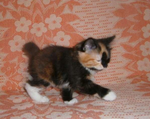 Котята курильского бобтейла в Тюмени фото 4
