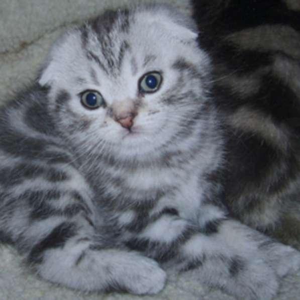 Британские котята, шотландцы яркие мраморные,4 окраса тебби