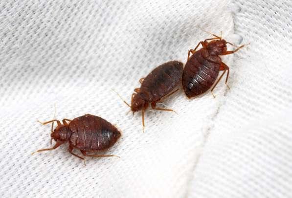 Уничтожение тараканов клопов блох