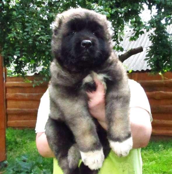 Кавказской овчарки щенок