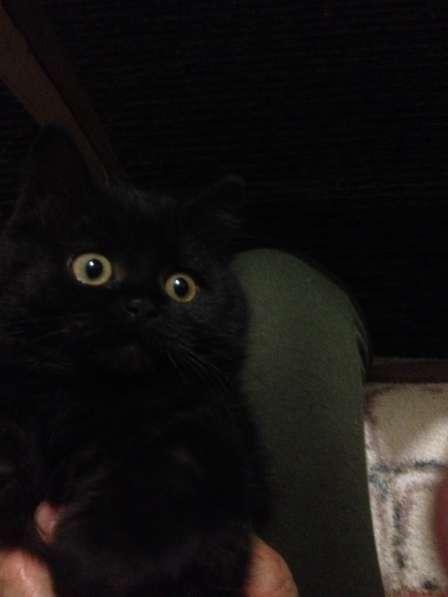 Британский котенок в добрые руки