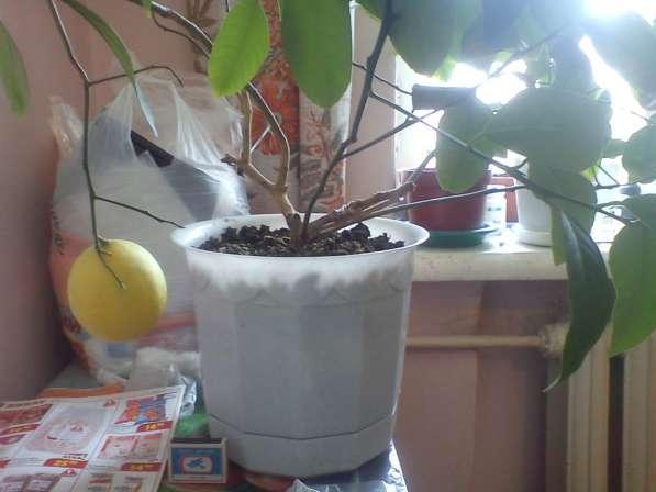 Лимоны плодоносящие в Екатеринбурге фото 6