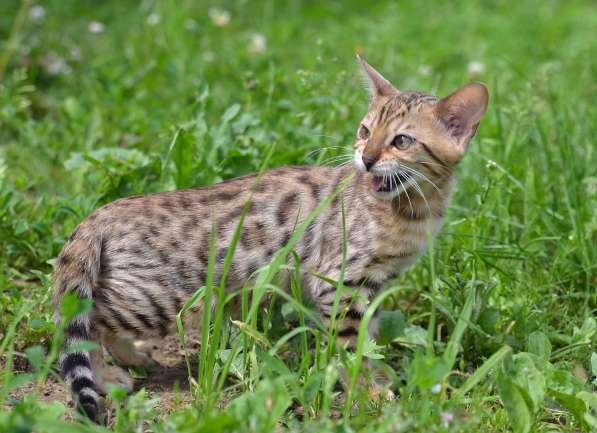 Бенгальсике котята в Нижнем Новгороде фото 12
