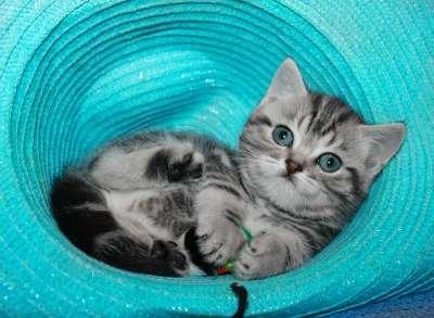 Шотландский клубный котенок страйт