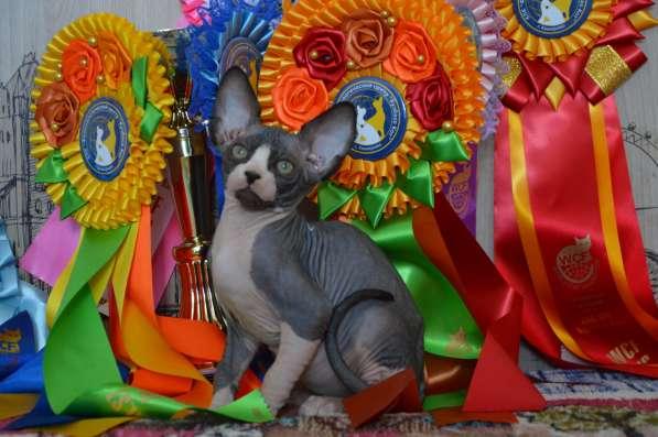 Продаются котята канадского сфинкса