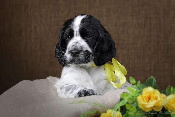 Чудесные щенки английского кокер-спаниеля ждут вас в Перми фото 5