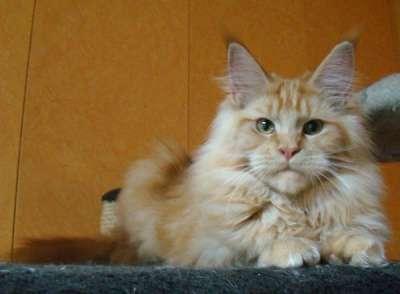Мейн куны! Котята породы Мейн кун! Мэйн