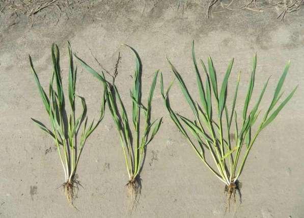 Семена озимой пшеницы, ячменя и протравители
