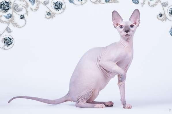 Бархатный котёнок с душой Эльф, Двэльф, бамбино или сфинкс в фото 5