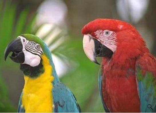 Попугаи - ручные птенцы