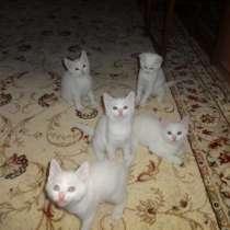 Шотландские котята с документами-белые, есть голубоглазый, в г.Киев