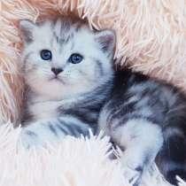 Шотландский котик, в г.Минск