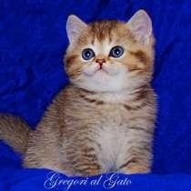 Золотые плюшевые британские котята с изумрудными глазами, в г.Москва