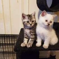 SCOTTISH kittens, в г.Brooklyn