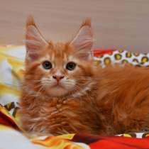 Мейн-кун котик красное солнышко, в г.Орск