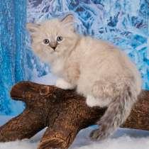 Невский очаровательный котик, в Санкт-Петербурге