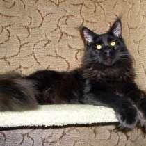 Котята мейн-кун из питомника, в Коврове