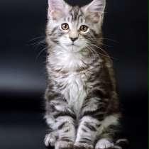 Котята Мейн-кун с отличной родословной. Готовы к переезду, в г.Петрозаводск