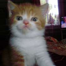 Британский котенок, в г.Краснодар