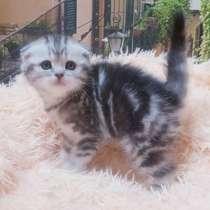 Шотландские котята, кошечка, в г.Минск