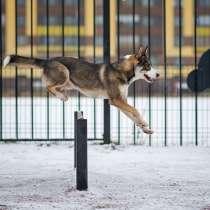 Шикарный молодой пес Салярис, близкий метис хаски в дар, в г.Санкт-Петербург
