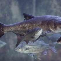 Живая рыба Толстолобик, в Москве