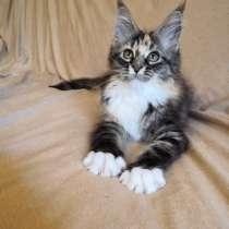 Cat meine Coon, в г.Callicoon